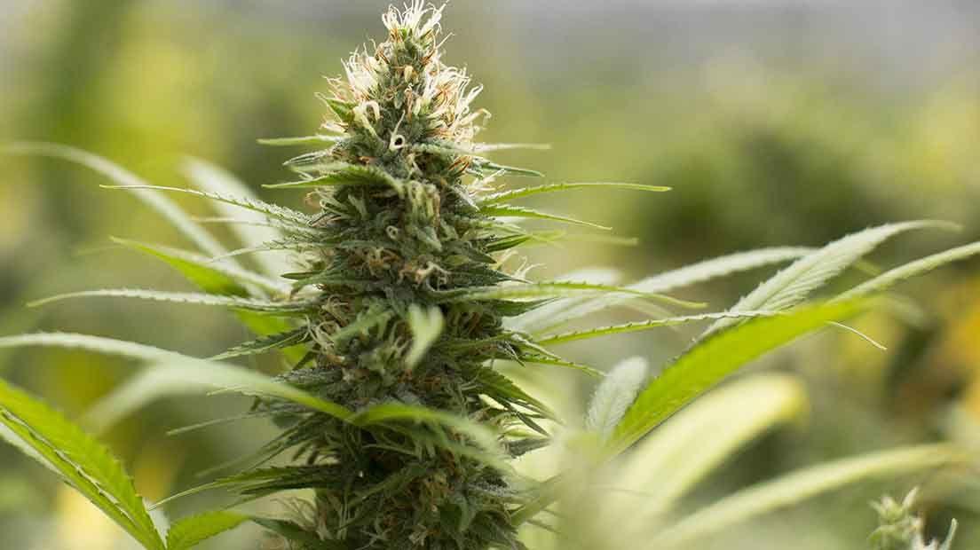 Marihuana para el sexo