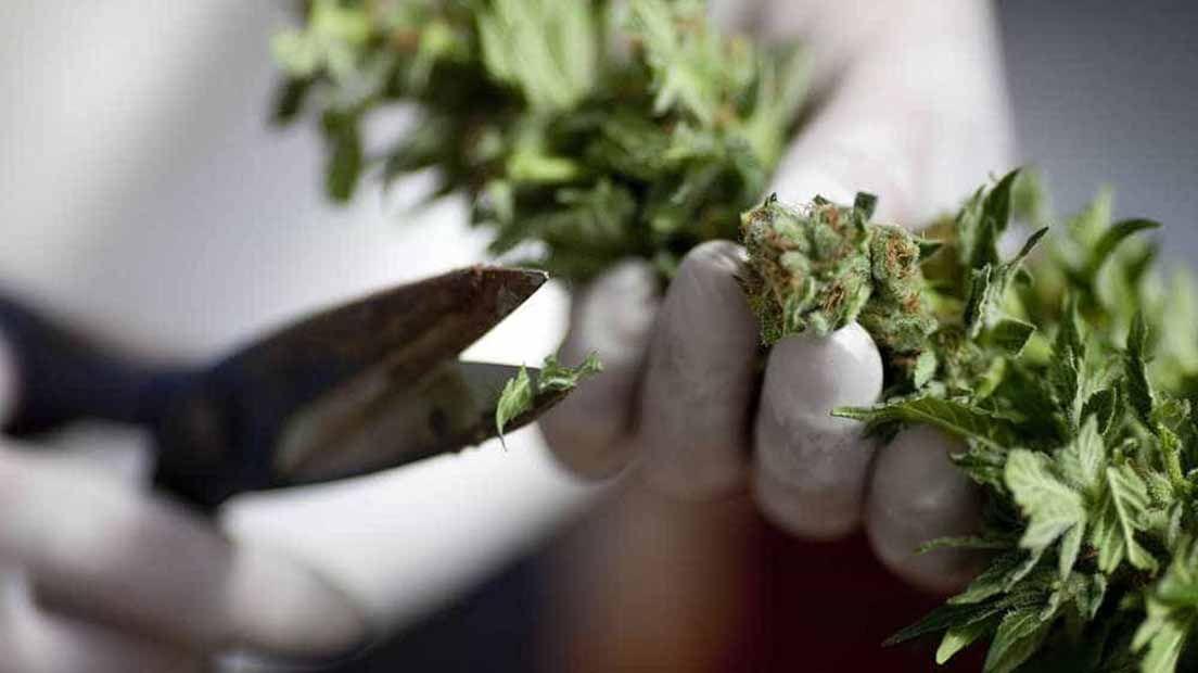 Manicurar en seco o en húmedo es preciso para que la marihuana tenga buen sabor y mejores efectos