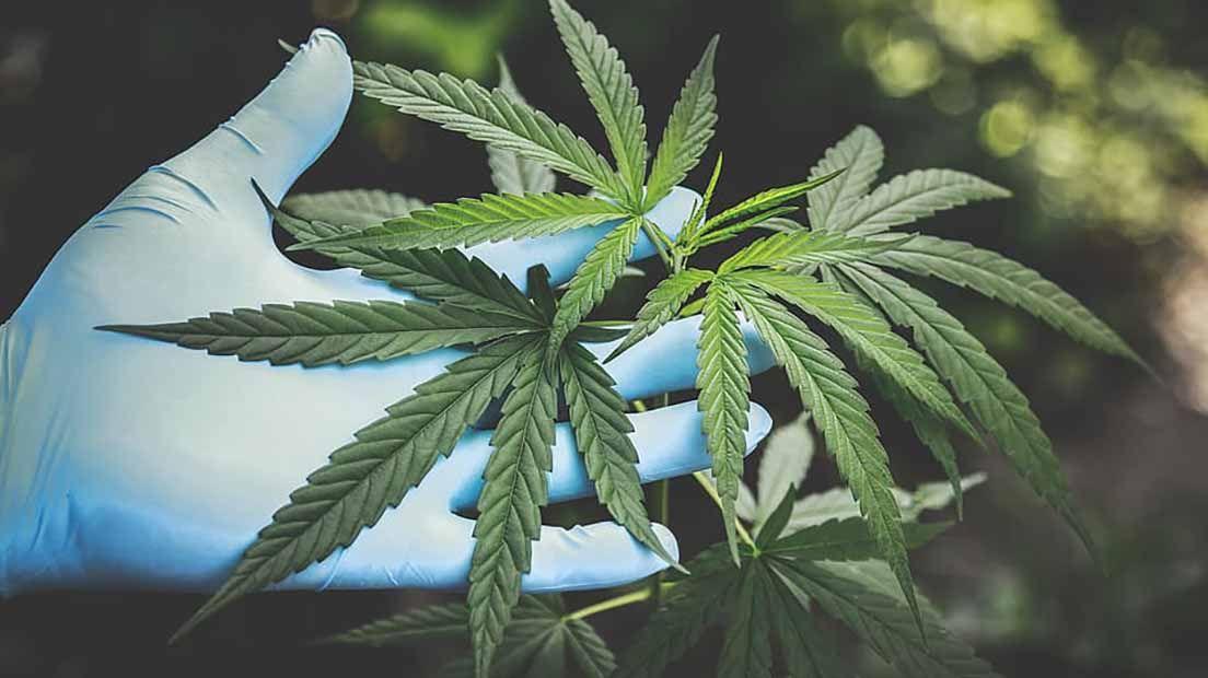Marihuana para el intestino irritable y divertículos es una de las últimas tendencias para tratar este trastorno.