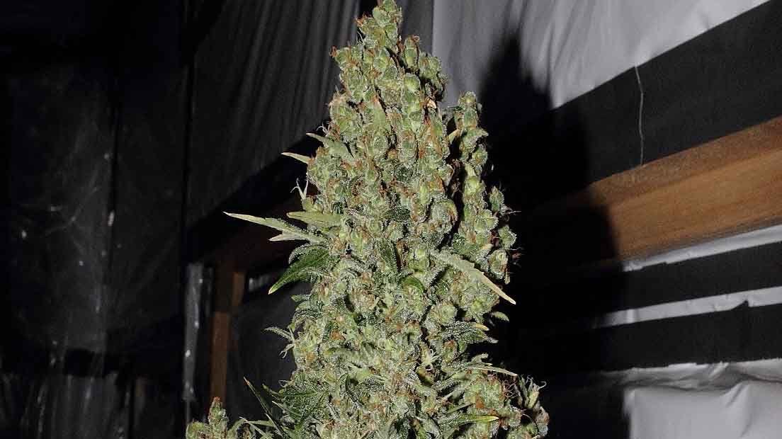 Serioues Seeds Chronic es una de las cepas de este banco de semillas más apreciadas.