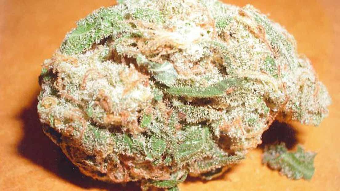 La variedad Cristal Limit de KC Brains: una de las cepas con más resina y cristales.