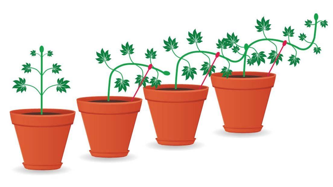 El Low Stress Training es una forma de podar la marihuana que consiste en doblar sus tallos para orientar su crecimiento a nuestro antojo.