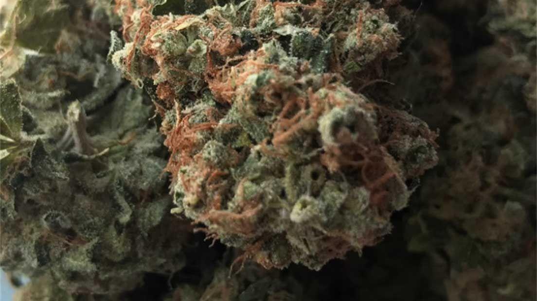 NYC Diesel es una de las cepas de marihuana más conocidas del banco de semillas Soma Seeds.