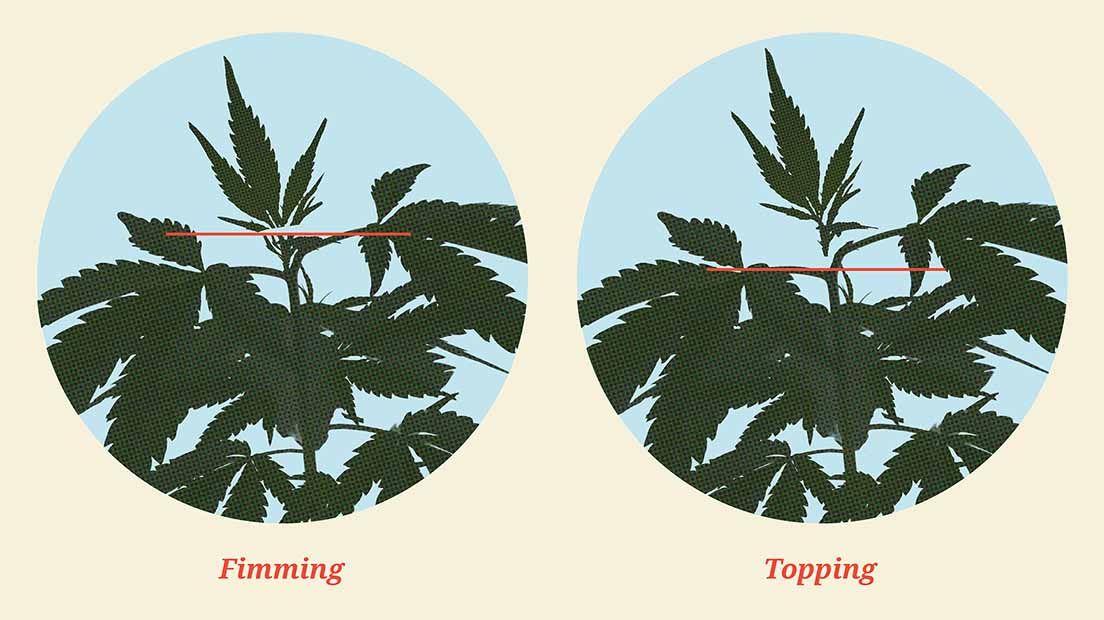 Podar la marihuana con Fimming consisten en extraer el 80% de cola central de la planta.