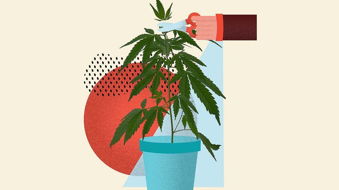 Podar la marihuana con topping consisten en extraer la cola central de la planta de marihuana.