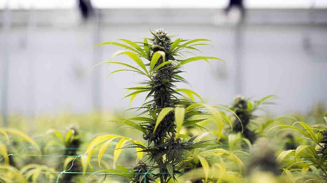 Podar la marihuana ayuda a que esta reciba más luz y pueda destinar sus recursos a producir más cogollos.