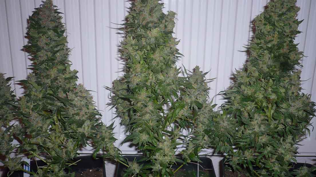 Serioeus Seeds Ak 47 es una de las cepas de marihuana más conocidas del mercado.