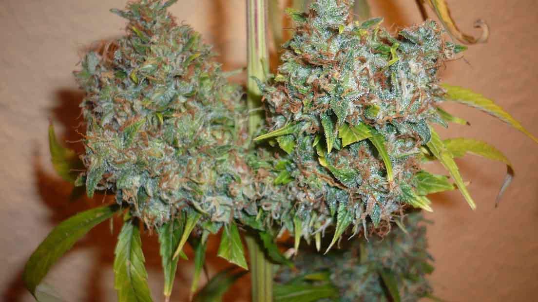 Serious Seeds Kali Mist es una de las cepas de marihuana pura.