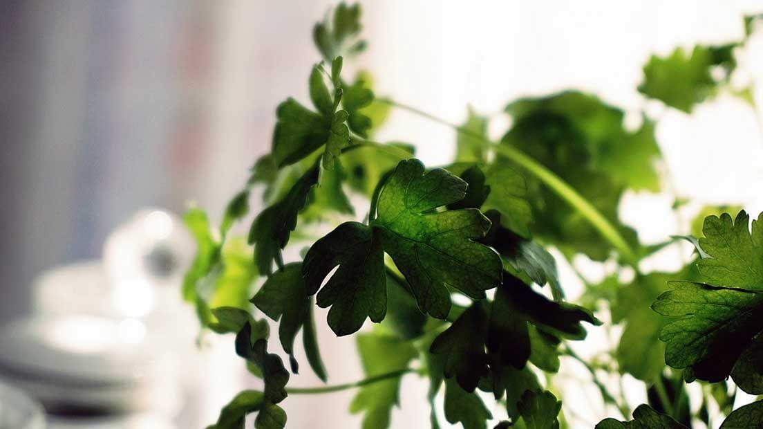 La alelopatía se da también en plantas aromáticas como el cilantro.