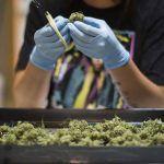 Manicurar en seco o en húmedo dependerá de nuestro espacio y cómo queremos que seque y cure la marihuana.