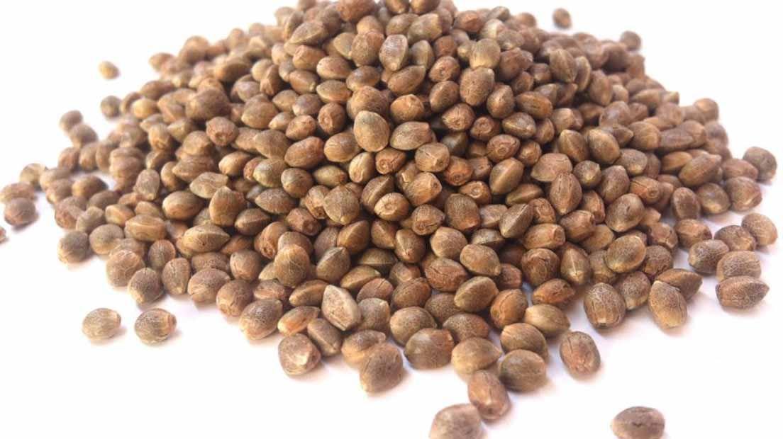 La semilla es la primera fase del ciclo de vida de la marihauna.
