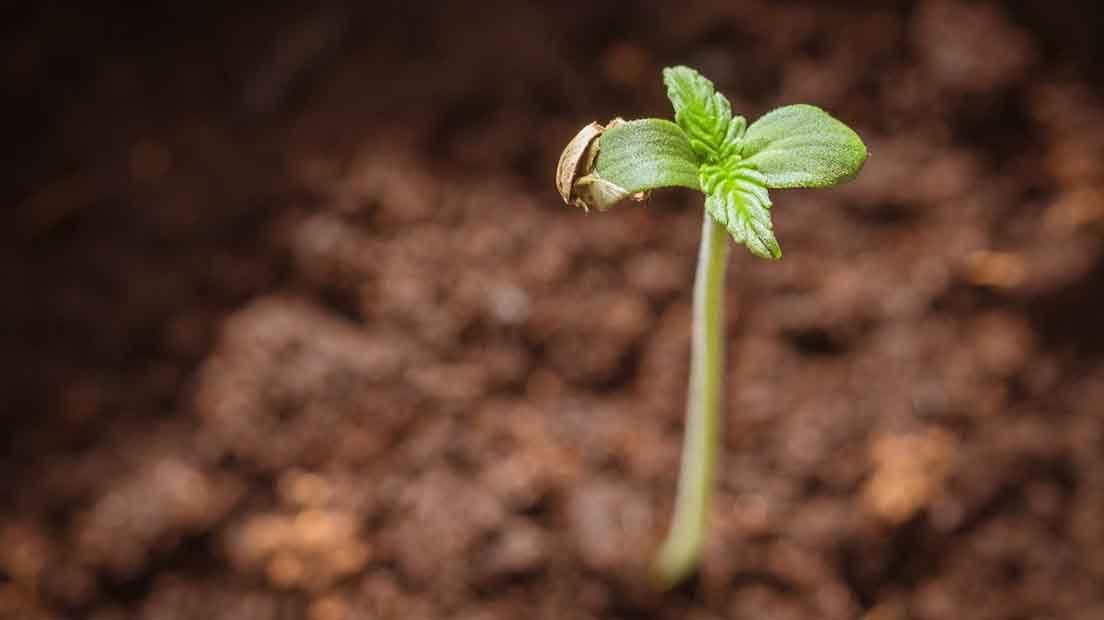 La plántula es la segunda fase del ciclo de vida del Cannabis.