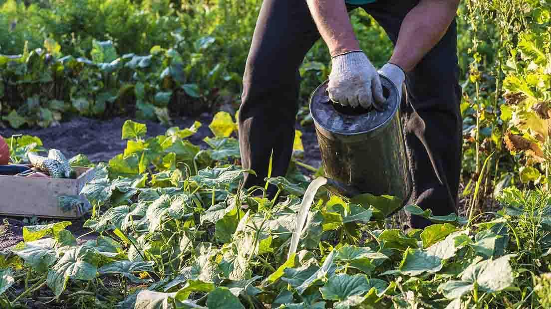 El té de compost es otra forma de resolver deficiencias de nutrientes en la marihuana