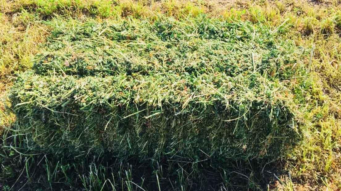 Para resolver deficiencias de nutrientes en el cultivo de marihuana podemos utilizar heno de alfalfa