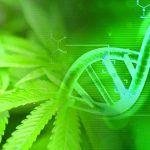 La genética es fundamental para comprender la importancia del genotipo de la marihuana