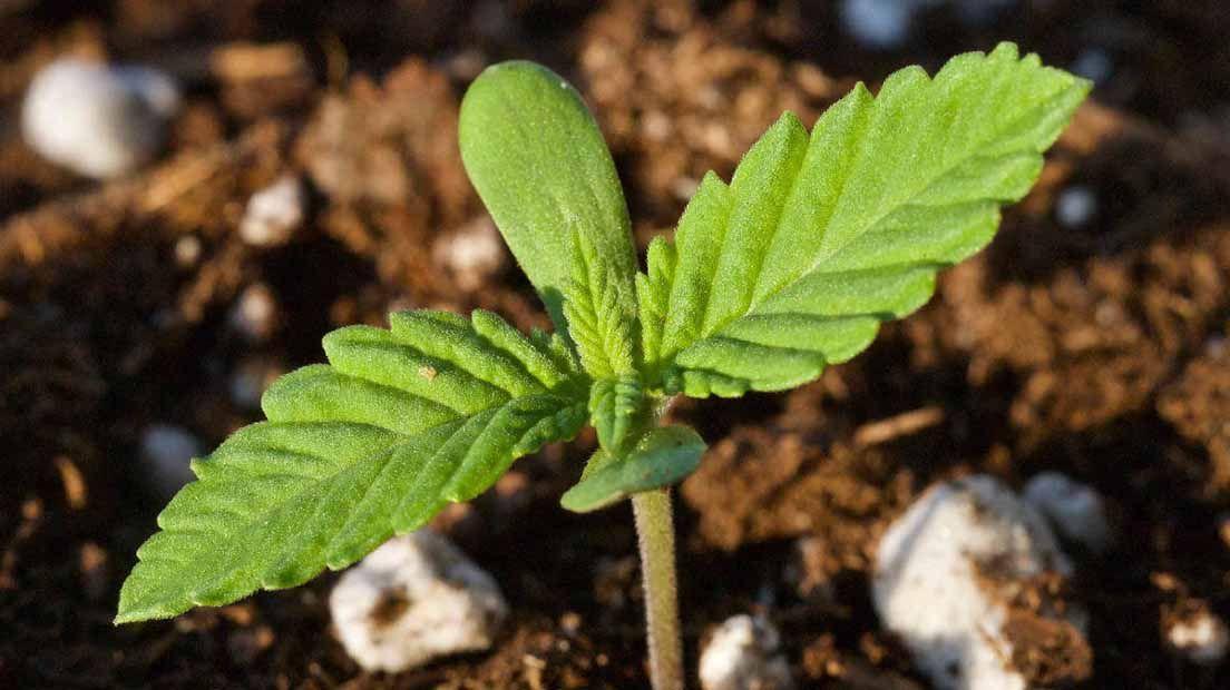 Las plántulas son el primer estado de la vida de la marihuana