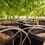 Técnicas como la defoliación pueden mejorar el sabor del Cannabis.