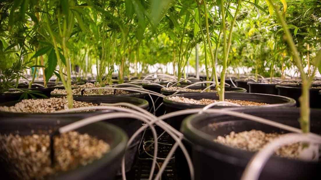 20 Trucos para Resolver Deficiencias de Nutrientes en la Marihuana