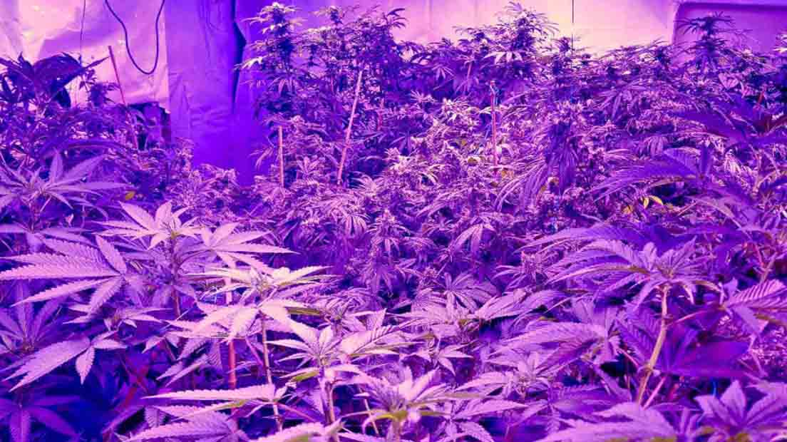 El uso de luces LED se recomienda para mejorar el sabor de la marihuana.