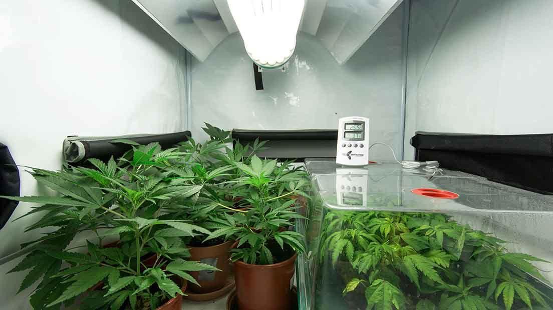 La temperatura del cultivo de marihuana es fundamental para conseguir que la planta de frutos.