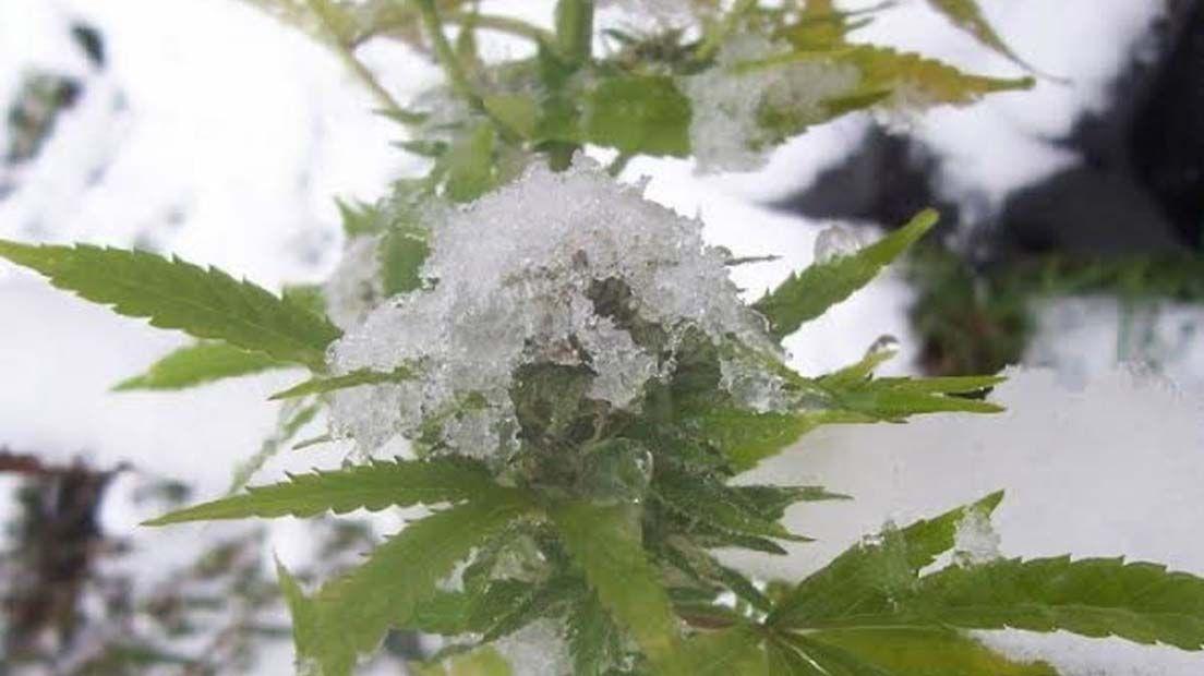 Cuando La temperatura del cultivo de Cannabis es baja, hay que tratar de subir los grados.