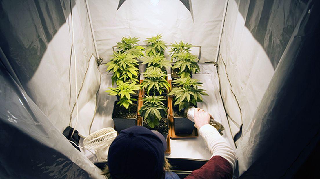 cultivar marihuana en interior lo pueden hacer novatos y expertos.