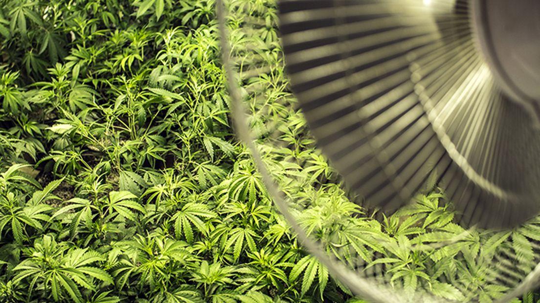 cultivar marihuana en interior es sencillo si sabes cómo.