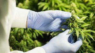 Descubre cuánto produce la marihuana