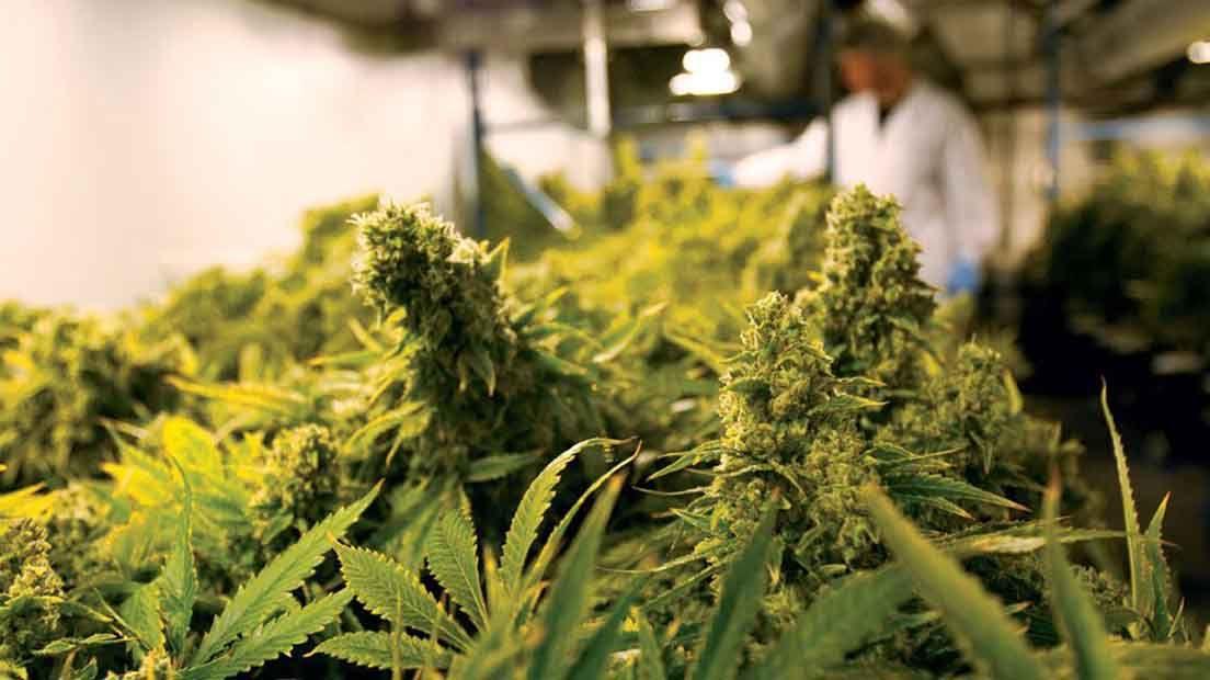 Para saber cuánta marihuana da una planta hay que conocer sus características.
