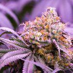 La floración de la marihuana es una de las etapas más importantes.