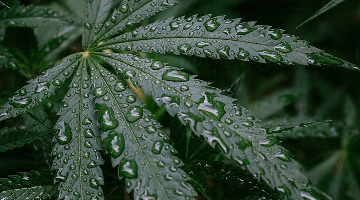 Proteger la marihuana de la lluvia es fácil si sigues los consejos.