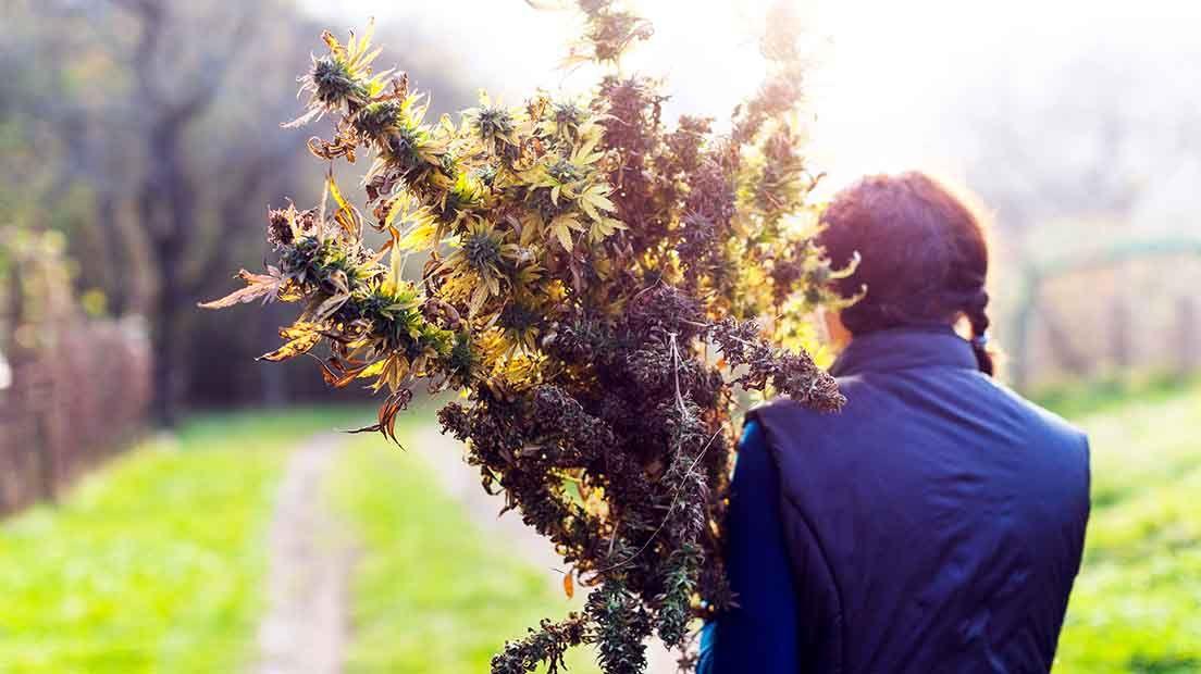 Proteger la marihuana de la lluvia es esencial para obtener buenas cosechas