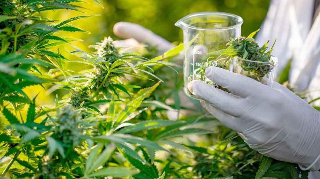 La historia de la marihuana medicinal se remonta al antigua China