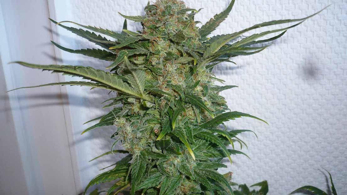 La marihuana sativa tiene efectos psicoactivos energéticos.