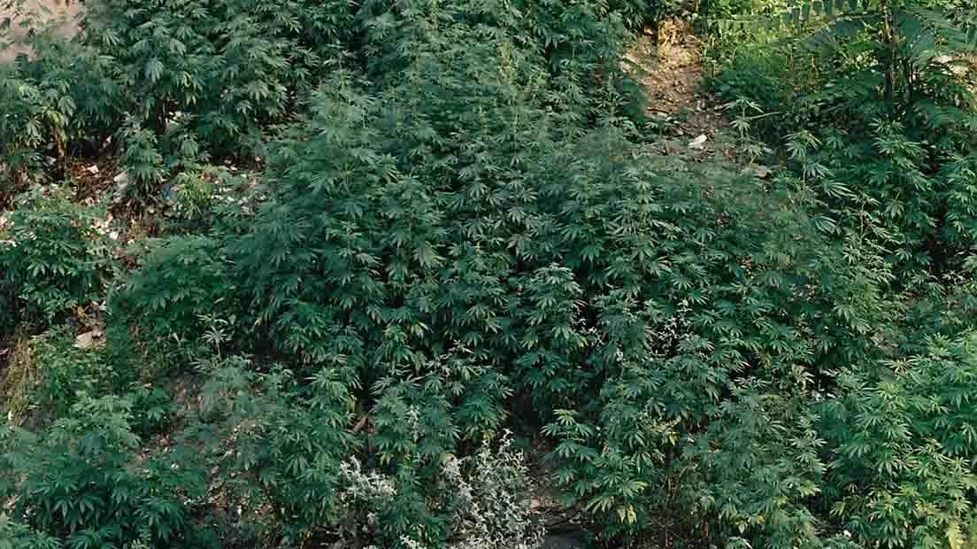 La marihuana rudelaris tiene su origen en Siberia