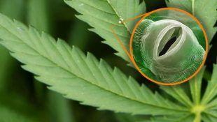 La marihuana es una planta que cuenta con estomas en sus hojas.