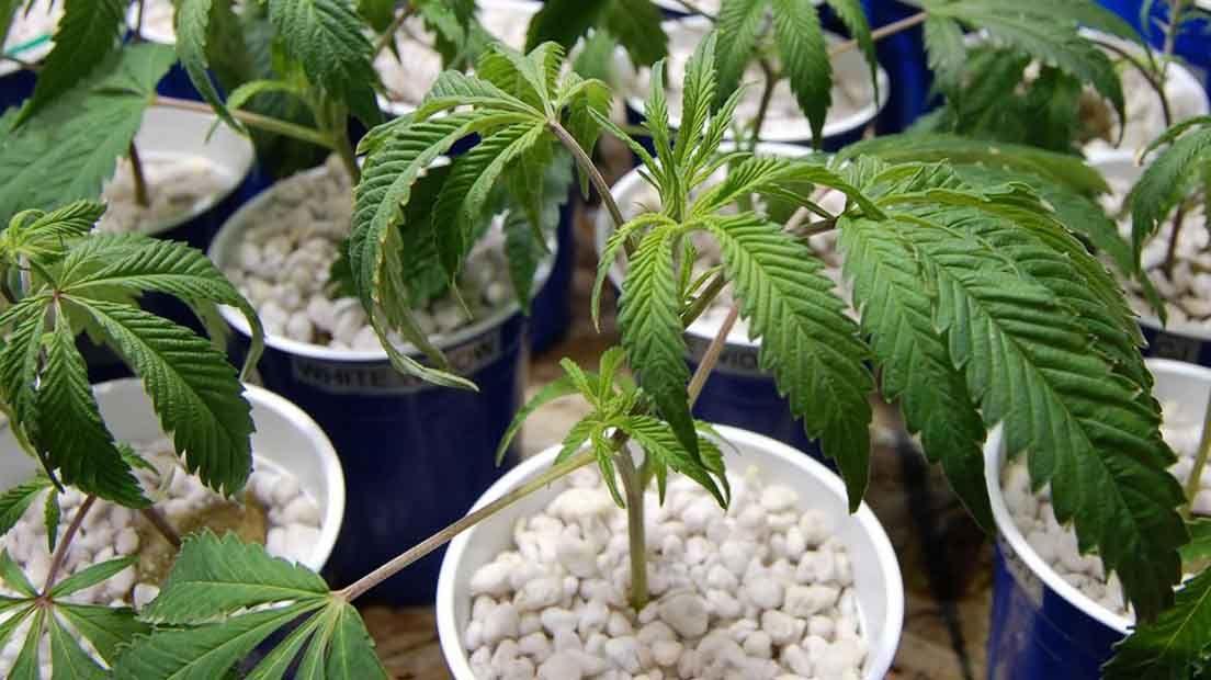El agua para la marihuana es muy importante para el cultivo.