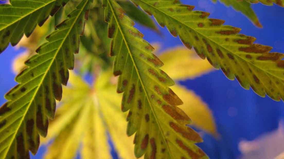 La deficiencia de boro es un problema que afecta al Cannabis.