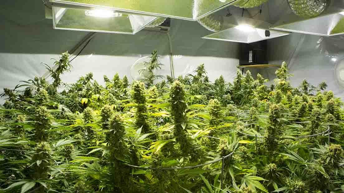 Una habitación de cultivo es esencial para cultivar Cannabis
