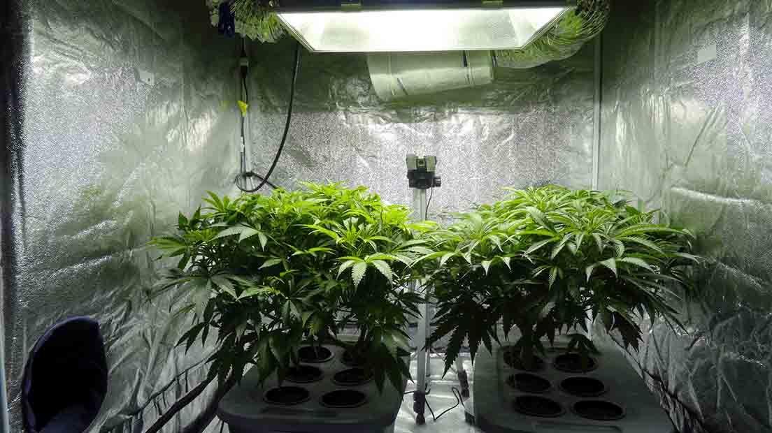 La habitación de cultivo es donde se cultivan las plantas de marihuna
