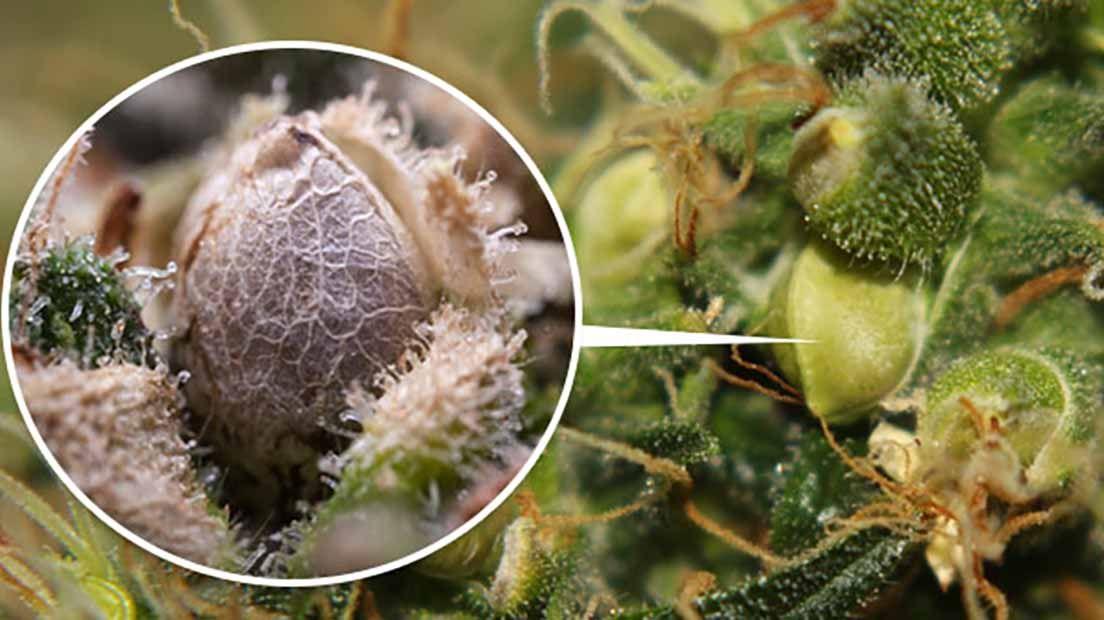 Para hacer semillas feminizadas necesitas plantas macho y hembra de Cannabis