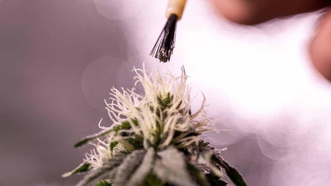 hacer semillas feminizadas es sencillo si sigues unos pasos establecidos.