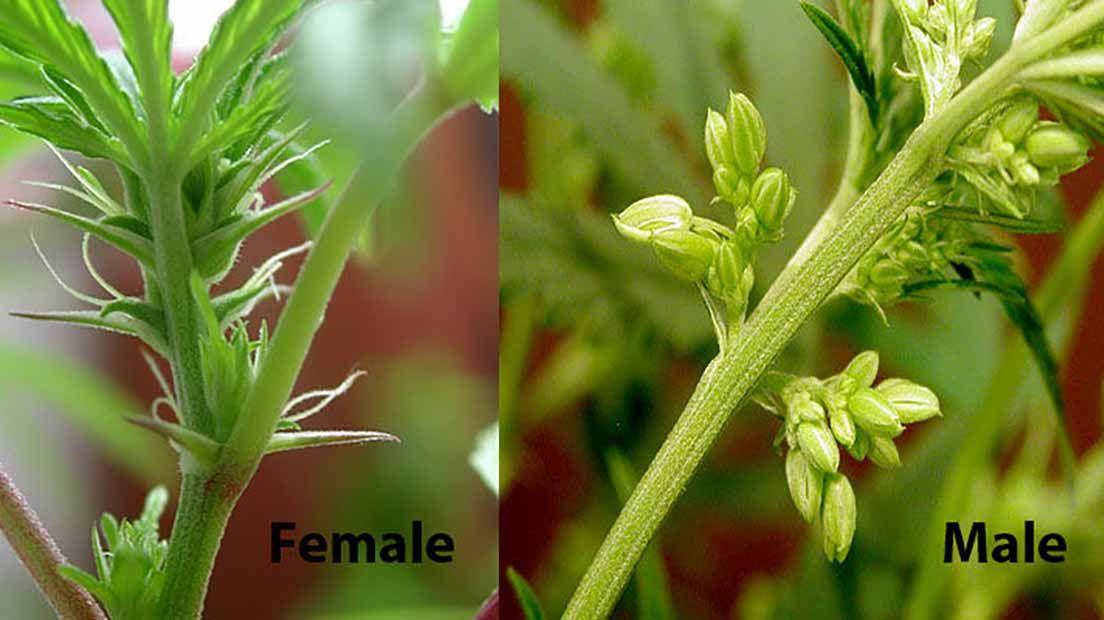 Las plantas hembra y macho tiene diferencias visuales.