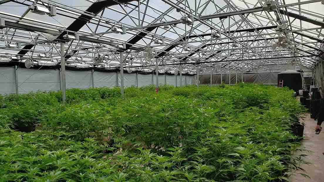 Descubre las ventajas del Cannabis cultivado con protecciones.