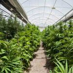 La marihuana en invernadero crece de forma estupenda.