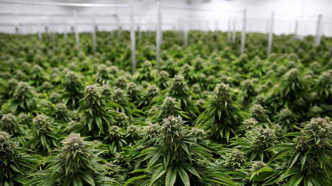 Aprender a cultivar marihuana en invernadero con sencillos pasos