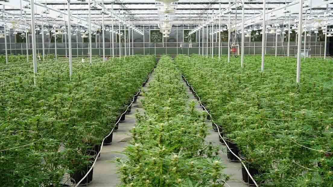 Cultivar marihuana en invernadero es sencillo si sigues esta guía.