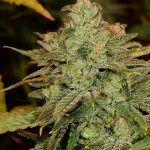 la marihuana landrace no ha sido modificada genéticamente