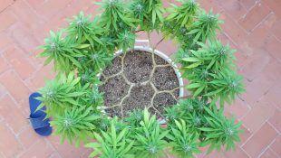 Así luce una planta con 16 líneas de cogollos.