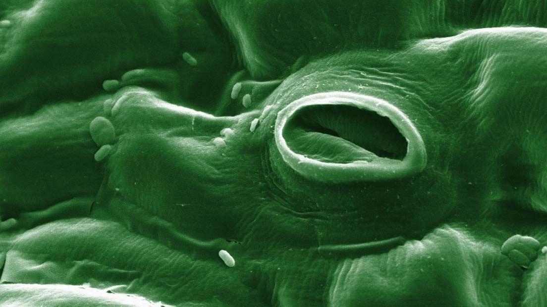 Los estomas de la marihuana absorben Co2 y liberan agua y oxígeno.